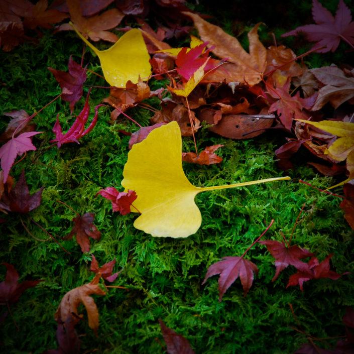 Ginko moss garden Momiji maple leaves fall Kyoto Japan