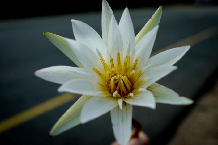lili flower india